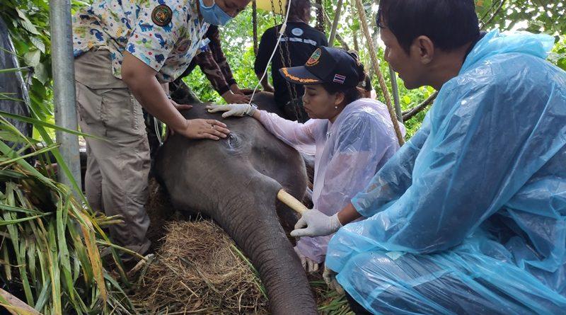 สูญเสีย น้องช้างกุยบุรีล้มแล้วหลังสัตวแพทย์รักษา3วัน